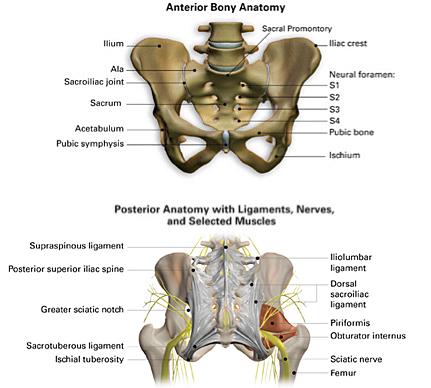Anterior Posterior Bony Anatomy Sacroiliac Joint